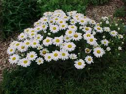 Kvety a rastliny, ktoré milujem a ktoré mám v záhrade. - TOTO CHCEM - margareta biela