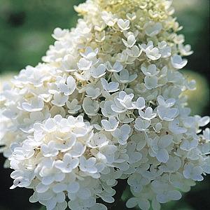 Kvety a rastliny, ktoré milujem a ktoré mám v záhrade. - TOTO CHCEM - hortenzia metlinatá