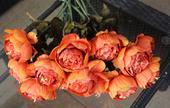 květiny pivoňky barvy oranžové žíhané ,