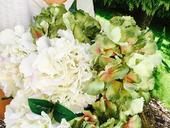 hortenzie žíhané zelené hortenzie umělé,