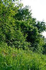 živý plot na konci pozemku