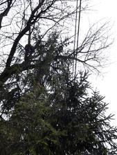 Naša stará prekrásna čerešňa rástla cez elektrické drôty aj strechu domu. Bezpečné to nebolo a veru báli sme sa pri každej búrke či vetre
