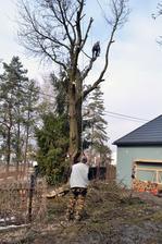 Pôvodne sme chceli len obrezať a zviazať ale zistilo sa že strom je bútlavý a vnútri je vyše 1,20 m hlboká diera, takže stabilita stromu je otázna a môže sa kedykoľvek zlomiť