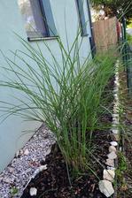 Pampová tráva v predzáhradke takmer neprežila minulú zimu takže nič moc..ale teším sa o pár rokov ked sa poriadne rozrastie