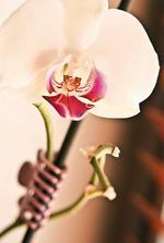 moje kvetoucí orchidejka na okně :)