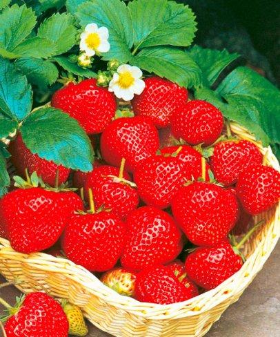 Zahrada - Poraďte jaký druh jahodníku má velký výnos a sladké plody?