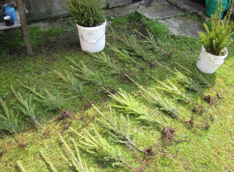 Zahrada - Kamarádky z okolí, nechcete některá smrček, dva tři...? :-)