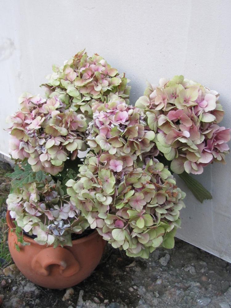 Zahrada - V dubnu koupená růžová hortenzie. Nechala jsem ji v původním obalu a jen zalévala. Tedy přidala jsem jednu dávku lógru na radu kamarádky, ale...