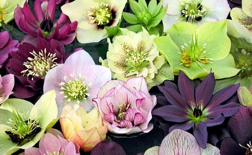Zahrada - Čemeřice (Helleborus) je velmi krásná květina, která není náročná na péči. Rozkvétá velmi časně zjara a mnohdy svými něžnými květy zdobí zahradu již v zimě.