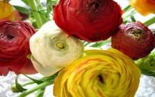 Zahrada - ranunculus - pryskyřník