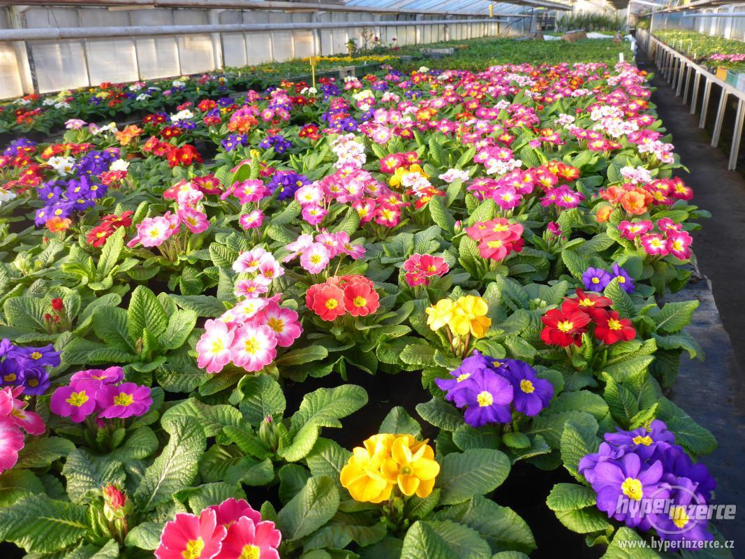 Zahrada - petrklic-primule-prvosenka
