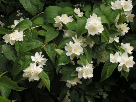 Zahrada - Pustoryl obecný. Někdy se mu říká český jasmín.