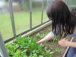 První sklizeň ředkviček a špenátu jsem o víkendu hned využila na bramborový salát a slanou roládu.