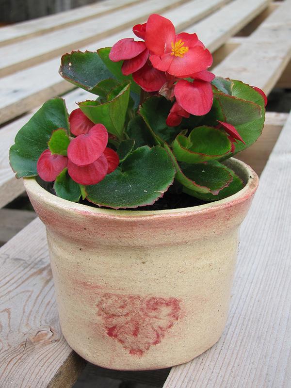 Zahrada - Dostala jsem begónii... teď musím zjistit co má a co nemá ráda :-)