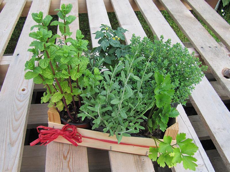 Zahrada - Bylinky které jsem dostala k narozeninám od kamarádky. No asi budu muset udělat bylinkový záhonek. Opravdu jim svědčí stín?