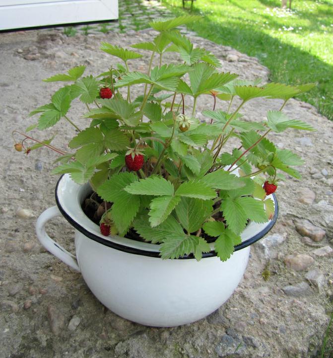 Zahrada - moje měsíční jahůdky vypěstované ze semínek