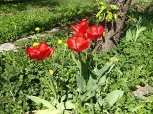 krasne tulipany po byvalych majiteloch nam vyrastli