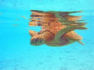 Bora Bora korytnacka