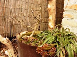 Jeden z bonsaj stromčekov - čaká na vhodnú misku
