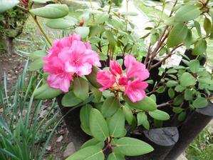 Rododendron je konečne spokojný s miestom a po 3 rokoch zakvitol
