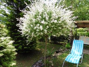 Japonská vrba (S.I.Hakuro-Nishiki) skrášli záhradu