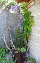 Campanula carpatica a iné rastlinky