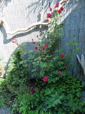 Ruža - mala by byť ťahavá, uvidím ako bude rásť, ale kvitne nádherne