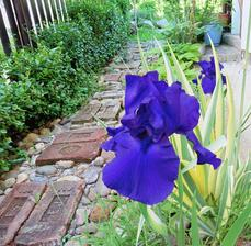 Kosatec - iris