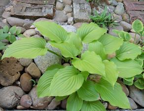 Hosta - Plantaginea Grandiflora