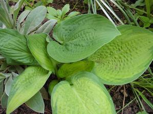 Hosta - Plantaginea Gold Standard