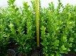 Buxus sempervirens - krušpán vždyzelený,