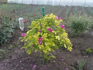 naša záhradka s ružami, vzadu mladá cibuľka
