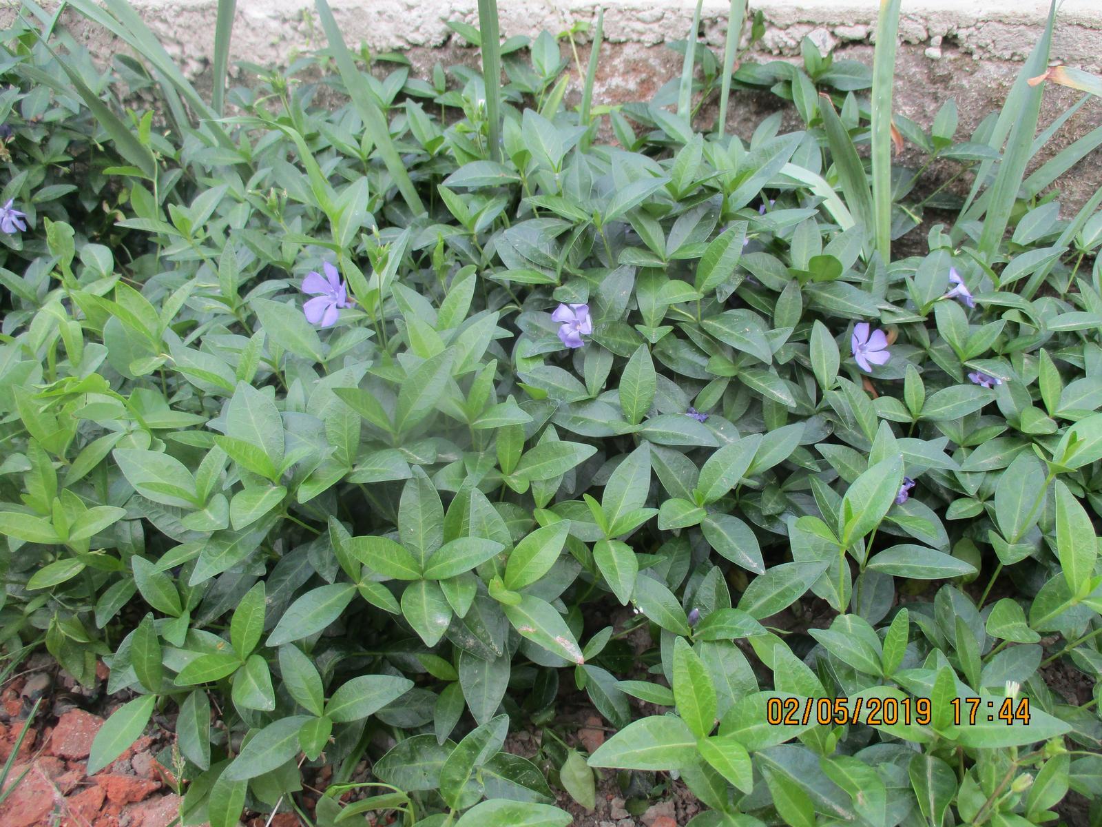 Zimozel fialovy - Obrázok č. 1