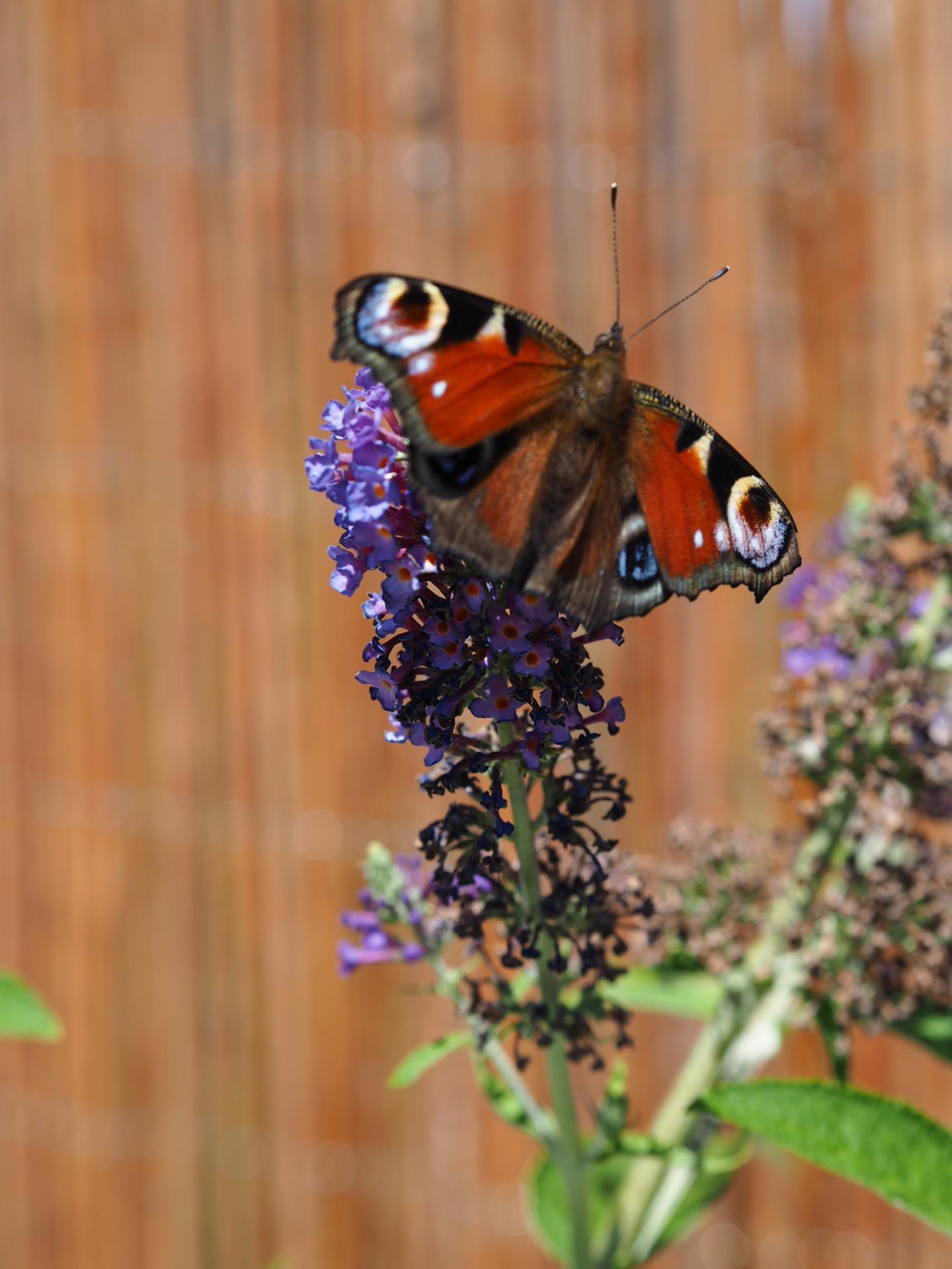 Začínáme se zahrádkou - Motýlí keř opravdu přitahuje motýly 🤗😊