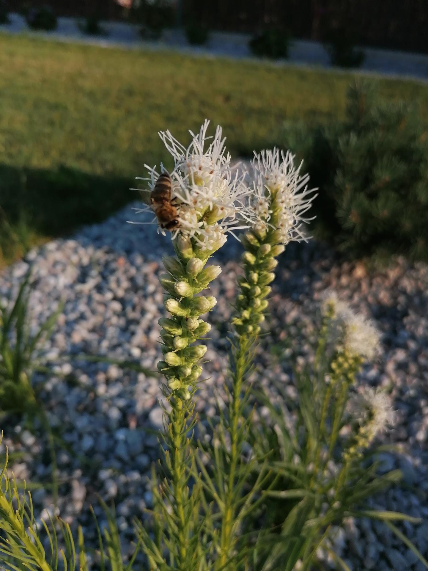 Začínáme se zahrádkou - Šuškarda už krásně kvete a láká včely