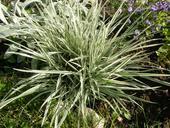 Okrasná tráva Medúnok mäkký,