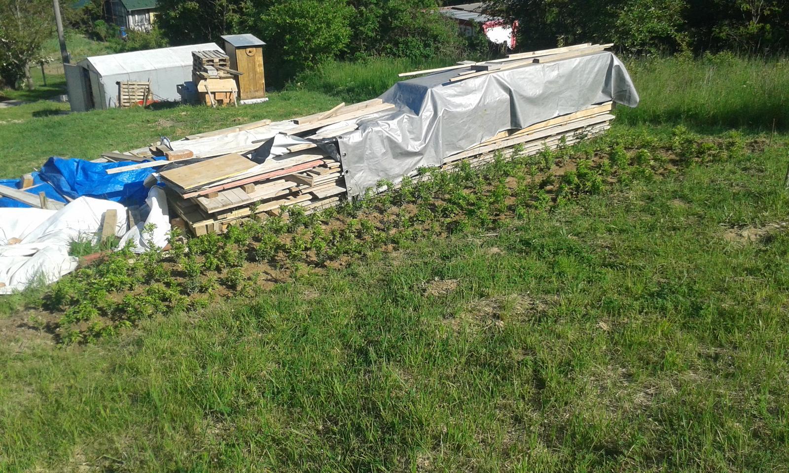 Okolie domu, záhrada - 7.5.2016 - Keď sme kúpili pozemkok, hneď sme u našich zasadili buxusy na živý plot zo severnej strany pozemku. Teraz sme ich rozsadili. Prvých 164 ks.