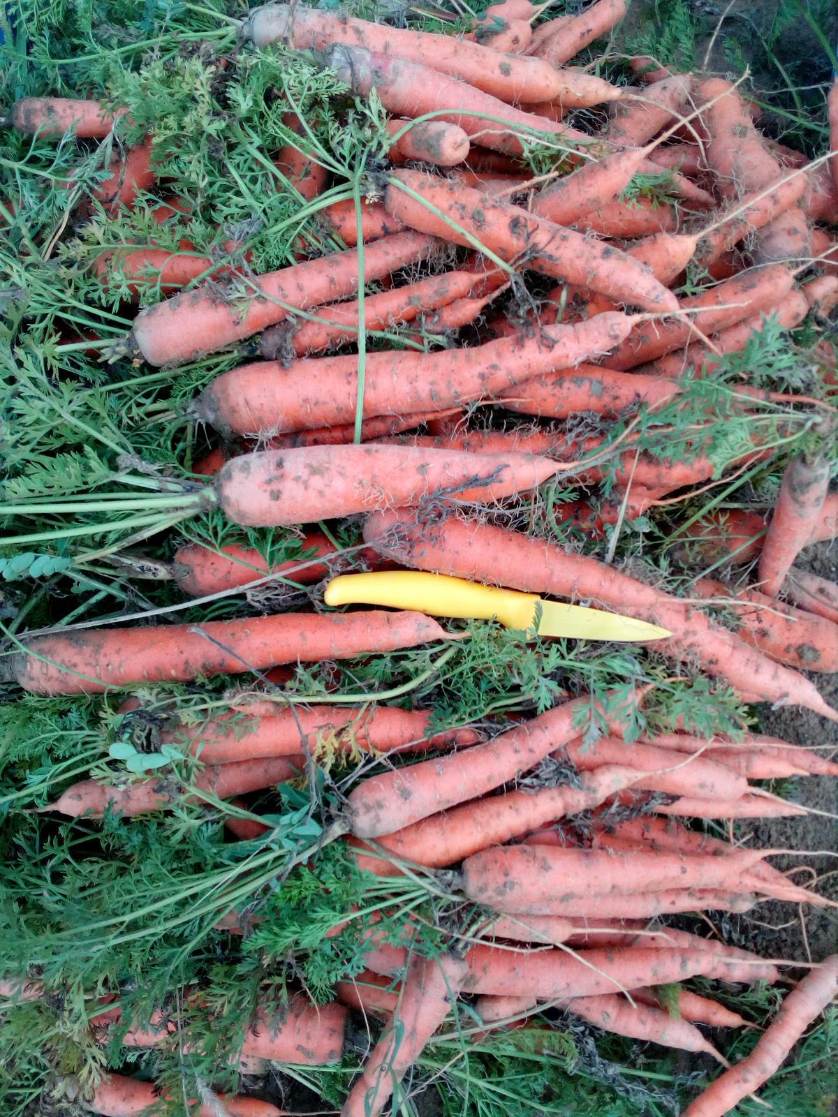 """Okolie domu, záhrada - Oplatilo sa sadiť mrkvu do """"hrobov"""", pekná dlhá každá jedna, teda okrem tej ktorú podryli hraboši"""