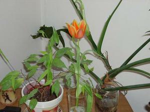 Kytička k MDŽ - trénink na svatbu. Nakonec budou bílé a pár růžových tulipánů.