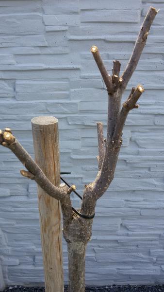 4fedf228357f Katalpa v záhrade - skúsenosti - - Záhrada - str. 3