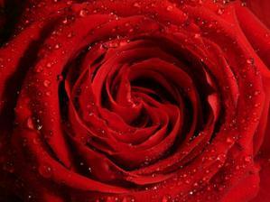 Rudá růže se stala symbolem naší svatby
