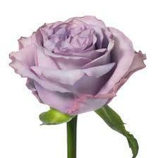 Z takových růži budu mít kytku - Frezia Fleur