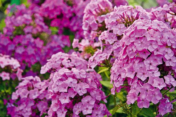 Okrasná záhrada- kvety trvalky - Obrázok č. 3