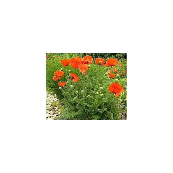 Okrasná záhrada- kvety trvalky - Obrázok č. 6