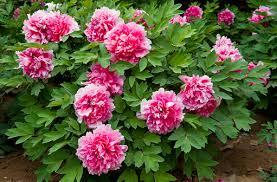 Okrasná záhrada- kvety trvalky - Obrázok č. 9