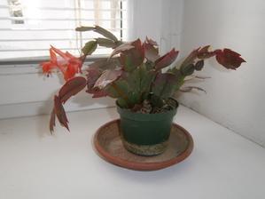 Vánoční kaktus letitý :-D