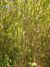 hotovy prales, vsetko treba vysekat... kriaky a stromceky co sa same nasiali. Niektore mali priemer az 10 cm