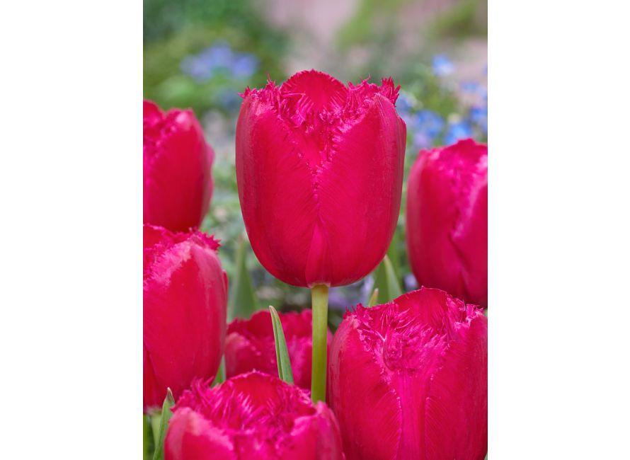50 kusov holandských tulipánov za 23 eur vrátane poštovného a balného - Obrázok č. 3