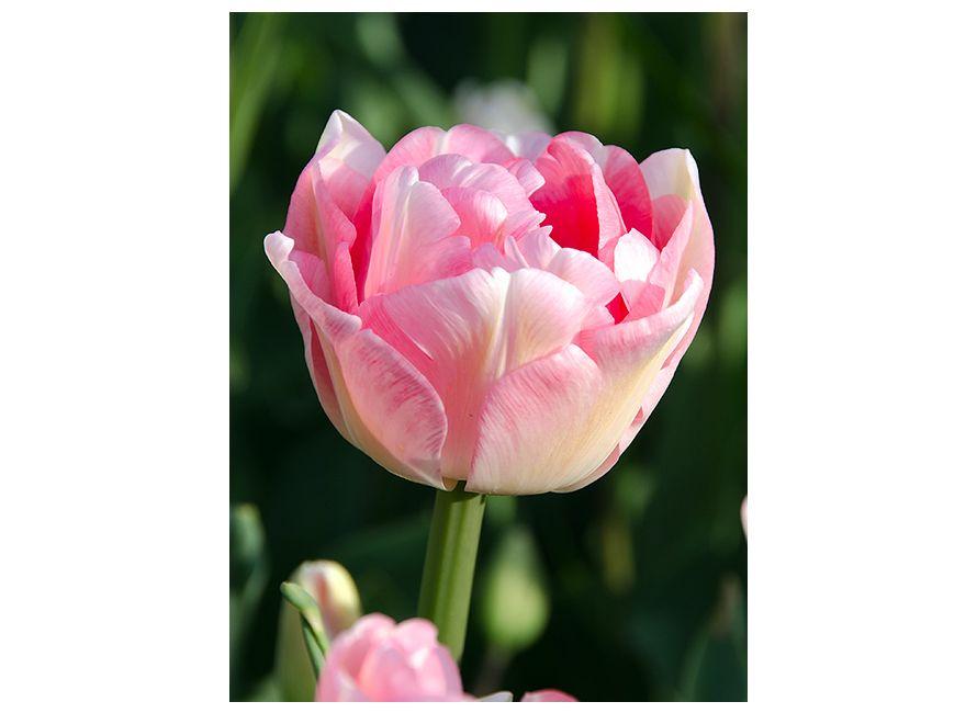 50 kusov holandských tulipánov za 23 eur vrátane poštovného a balného - Obrázok č. 4