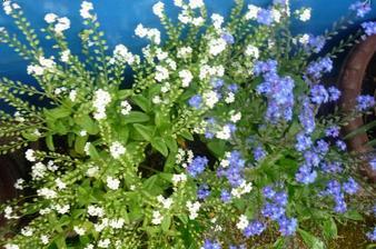 jemná krása- krásně rosty a dlouho kvetly